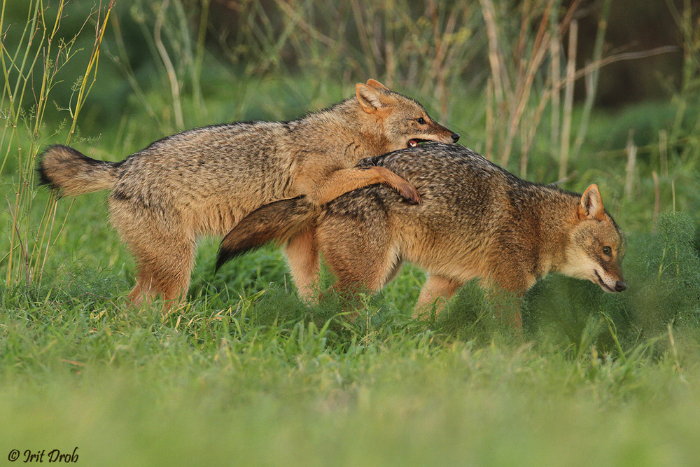 Jackals are playing