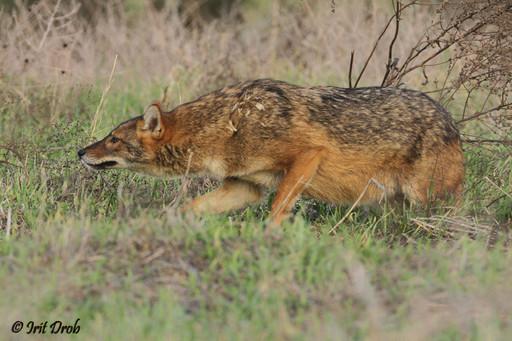 Golden jackal In a threatening position