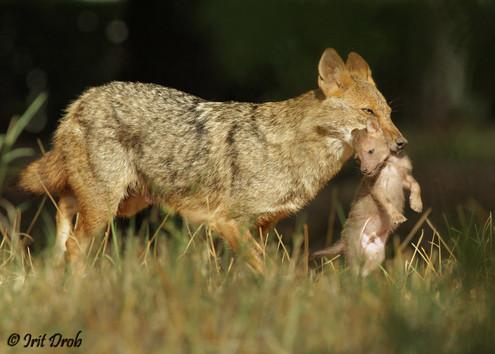 Golden jackal - mother and cub