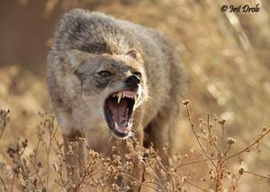 Golden jackal is growling
