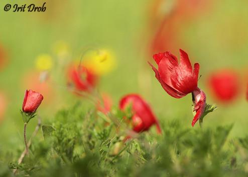 Anemone (flower)