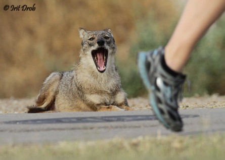 A jackal in the background bystanders on the morning run in the park