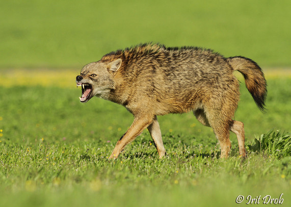 Jackal grwoling during the courtship period