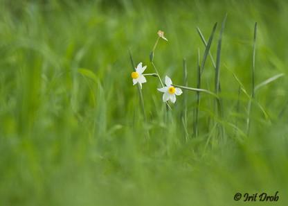 Daffodil (flower)