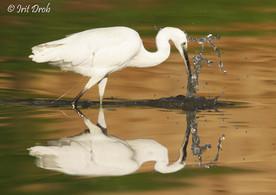 Little Egret stuck in fishing Thread