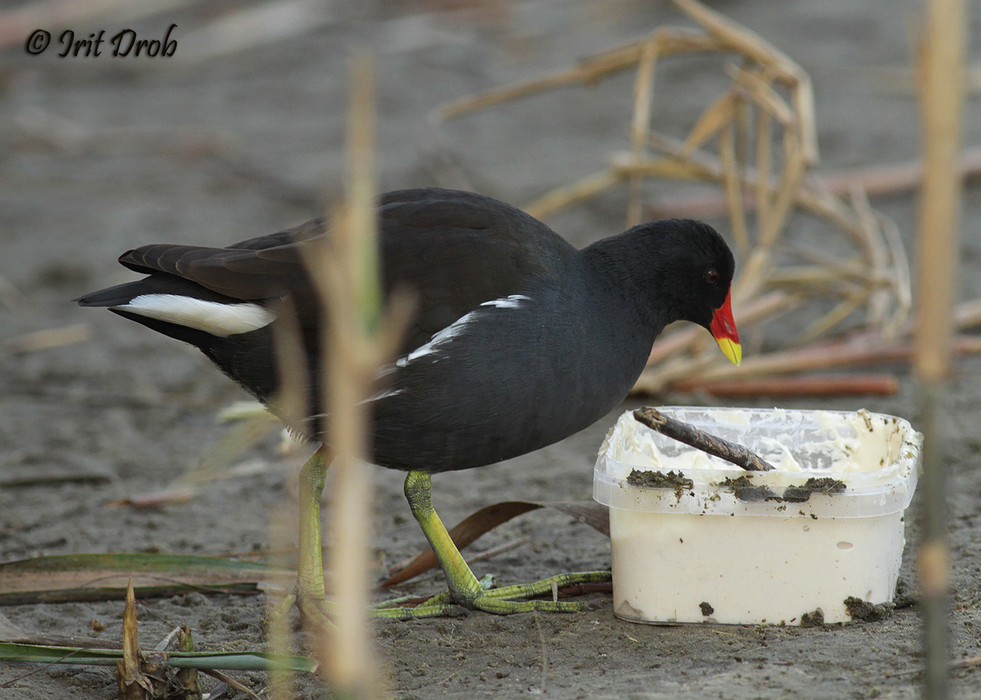 Common Moorhen eating from leftover fish food