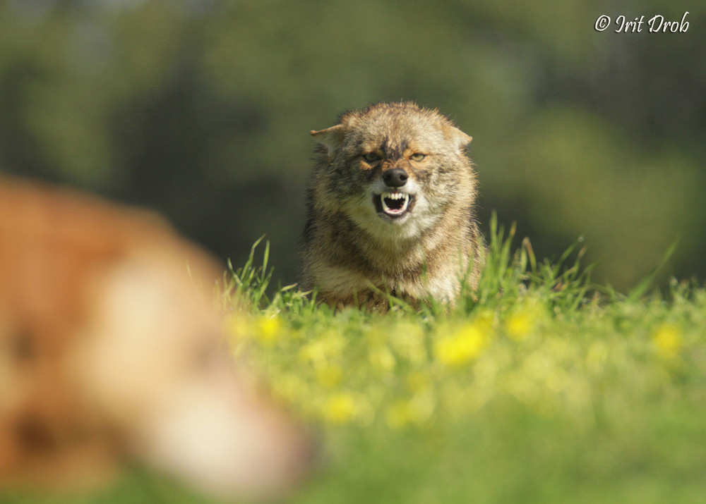 Golden jackal furious about my dog during courtship