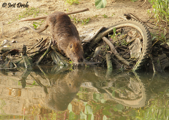 Nutria among waste in the river