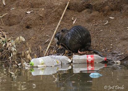 Nutria among waste
