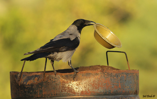 Hooded Crow eating from waste