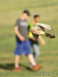 Falcon catches a wedg on people's backgrounds