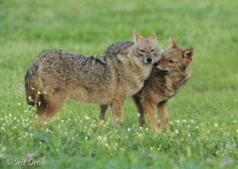 Jackals during the courtship period