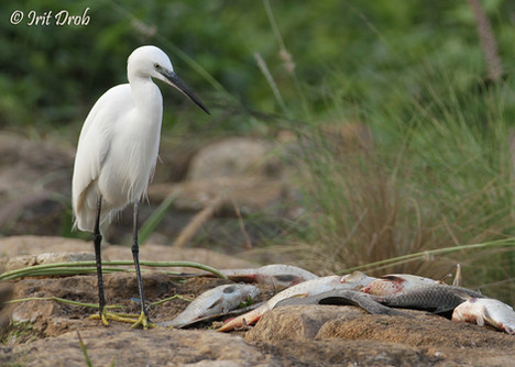 Little Egret looking at dead fish during the pollution in the Yarkon river