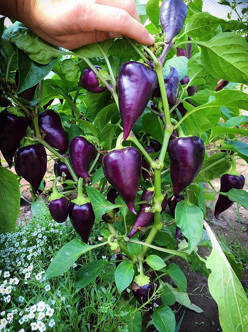 Violet Sparkle Pepper (Sweet)