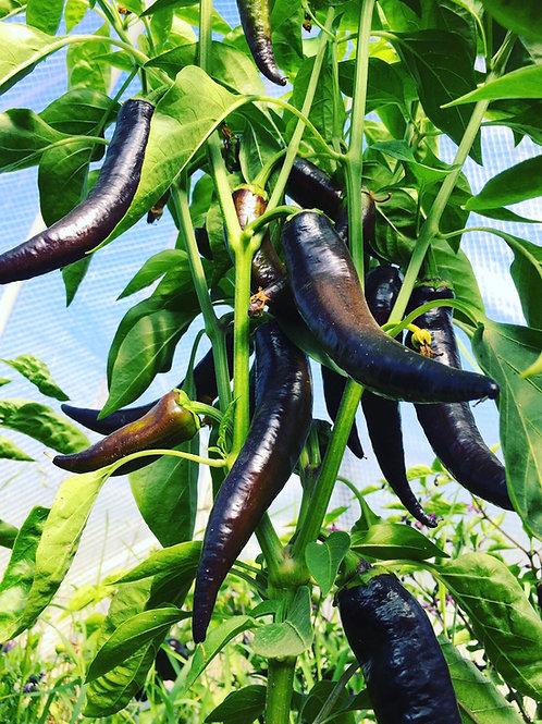 Purple Marconi Pepper (rare)
