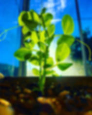Young pea plant grown at Carmel Bella Farm