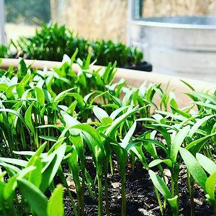 Garden sprouts at Carmel Bella Farm