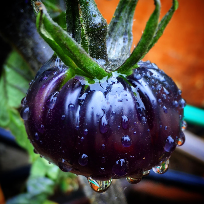 In Love With Heirloom Tomatoes - The Black Beauty