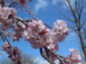 Flowering tree blossom