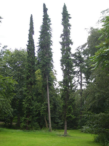 TPO conifer trees