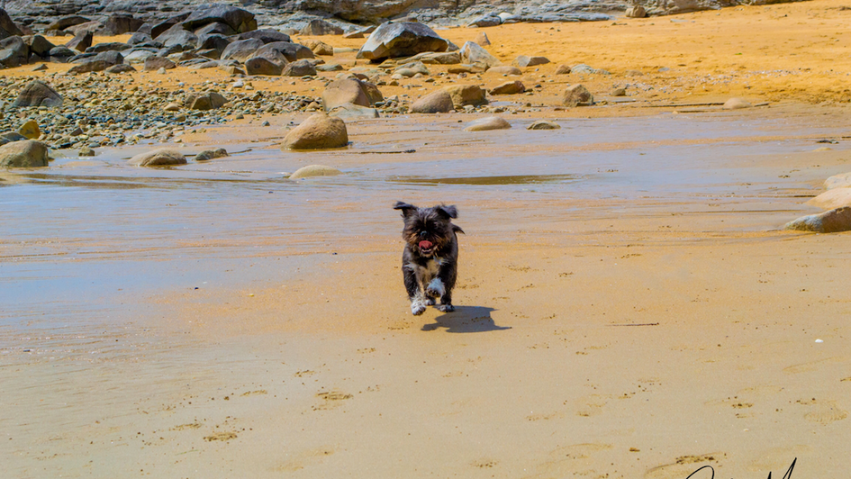Running Shih-Pug