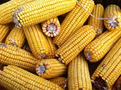 autumn-fall-farm-corn.jpg