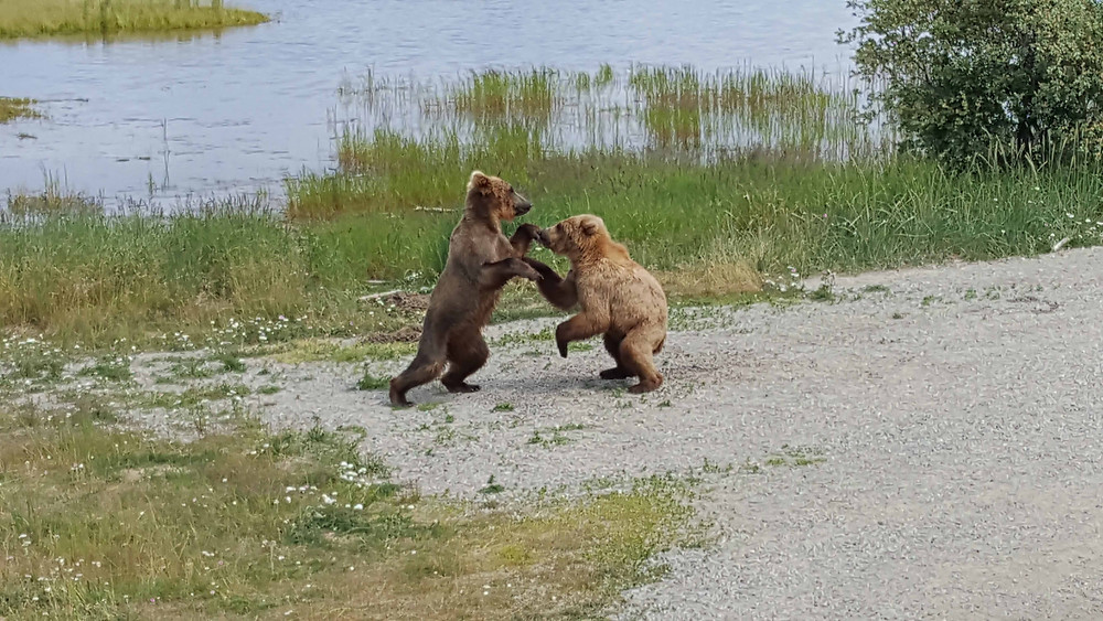 Grizzly Bear Subadults Play Fighting - Katmai National Park, Alaska
