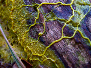 Slime Mould – The Brainless Creature that Embodies Alternative Intelligence