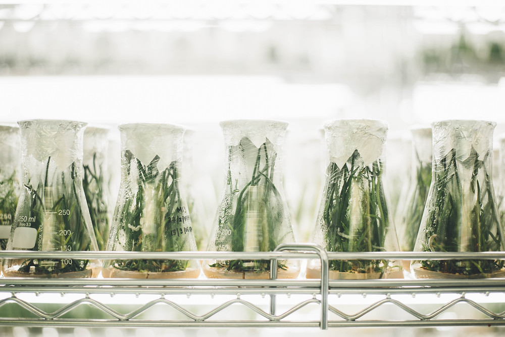 Genetically Modifying Plants in a Lab