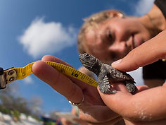A volunteer for STCB measures a sea turtle