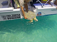A volunteer for STCB safely returns a sea turtle to the sea