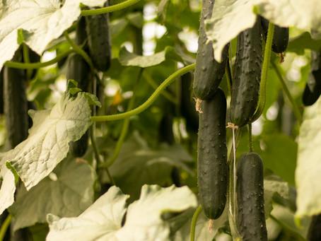 Beneficios de la luz difusa en tus cultivos