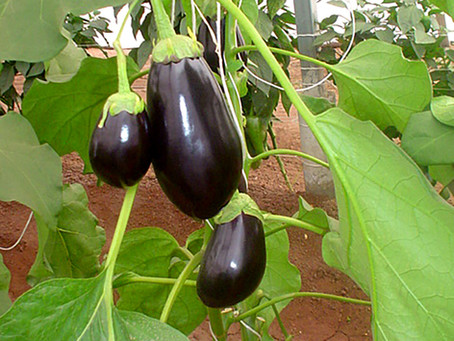 Cultivo de Berenjena en Invernaderos