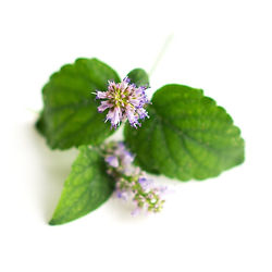 patchouli-oil-is-used-to-create-perfumes