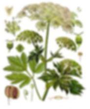 Peucedanum_ostruthium_-_Köhler–s_Medizin