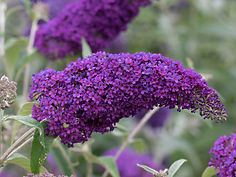 Buddleja-davidii-Darts-Purple-Rain6.jpg
