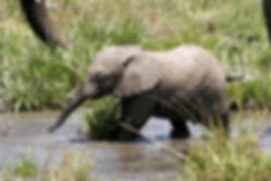 baby-ele-in-swamp-e1393540838708-1024x68