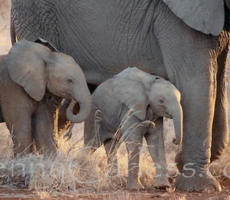 Baby-elephants.jpg