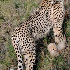 Cheetah-and-cub-cropped.jpg