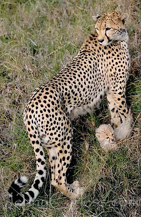 Cheetah-and-cub-cropped.jpg