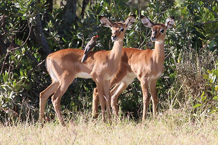 Young-impalas-with-Red-billed-Oxpecker-I