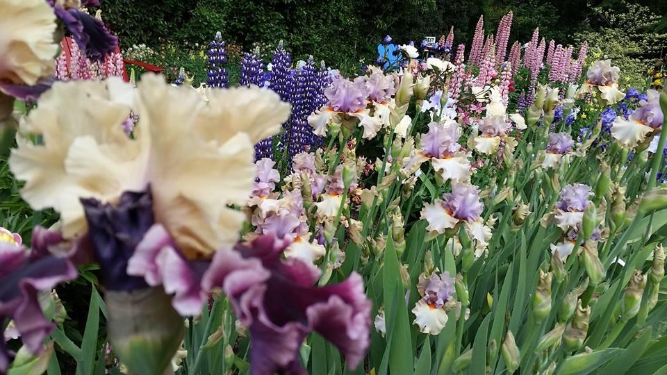 Schneider iris farm