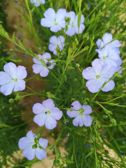 Le fabuleux destin de la fleur de lin