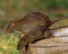 rodent-article.jpg
