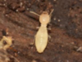 formosan-termite-worker.jpg