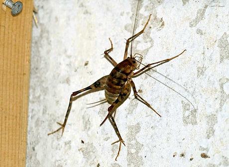 spider cricket.jpeg