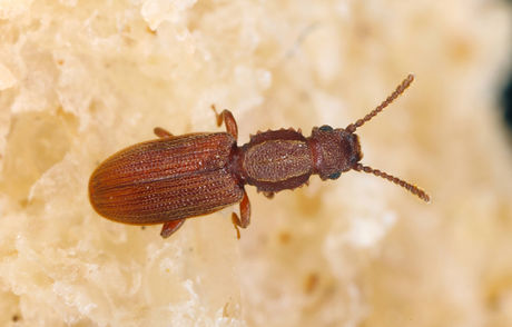 beetle grain.jpg
