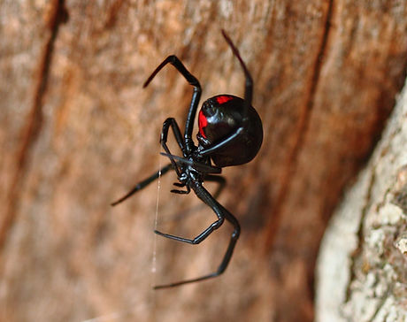 black-widow-ThinkstockPhotos-187814256.j