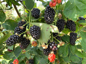 Video: Blackberries Experience Exciting Genetic Expression with Ag Conditioner