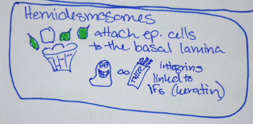 Hemidesmosomes